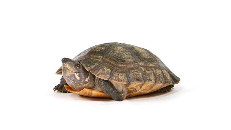 $10 Sex Toy Helps Missouri State Scientist Study Turtles