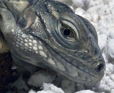 "South Carolina Warns Eclipse Watchers:  Beware of 'Lizardmen"""