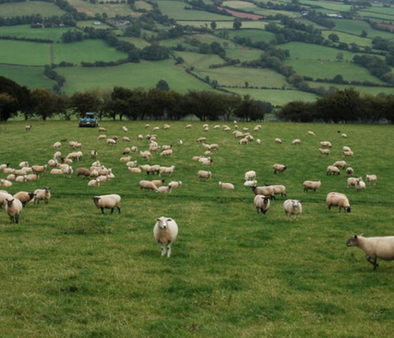 Couple Spotted Having Sex in a Field Full of Sheep
