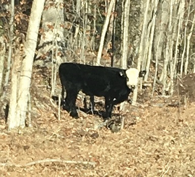 Be On The Lookout For...BANDIT COW!