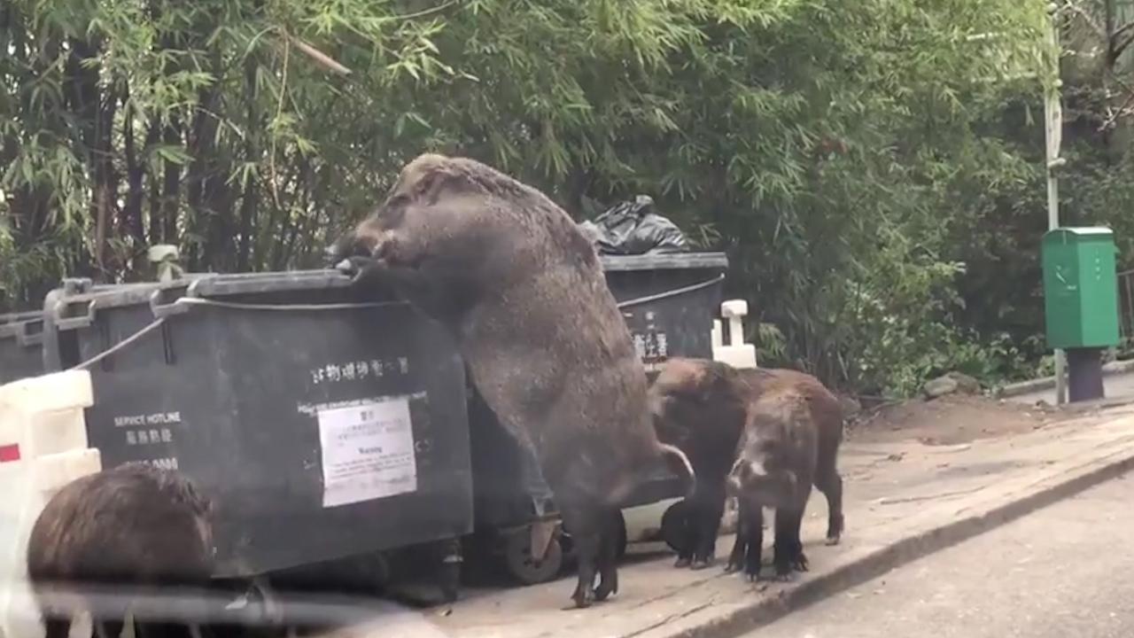 """""""Pigzilla"""" seen rummaging through dumpster at Elementary School"""