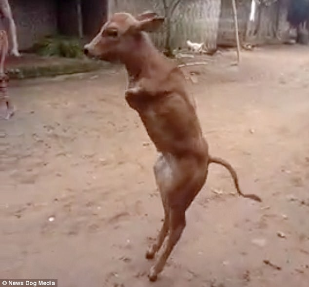 2 Leged Calf Walks Like a Human
