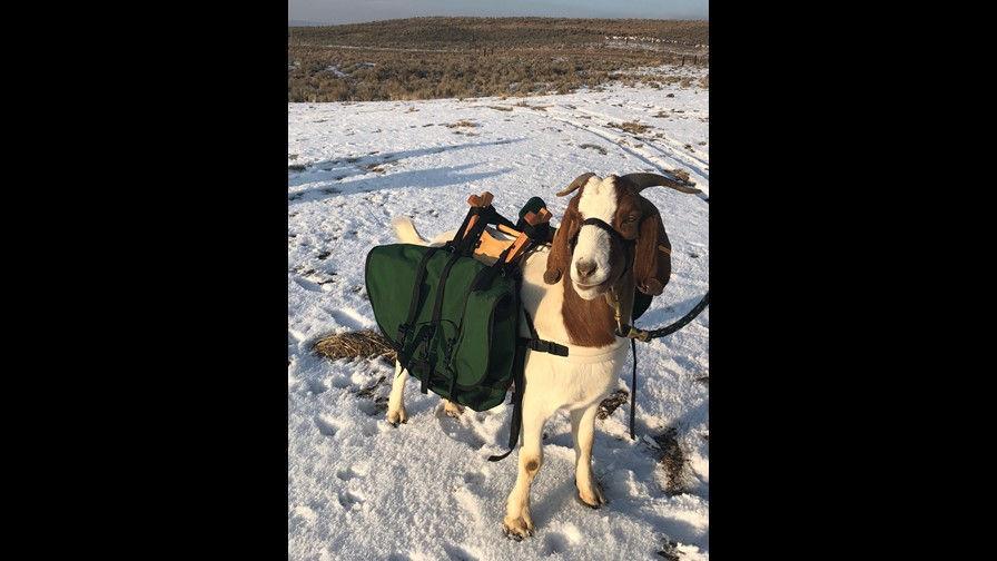Oregon Golf Course Using Goats as caddies