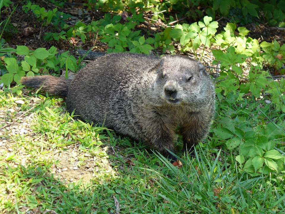 Here's Why The Hell We've Got A Groundhog Predicting Weather