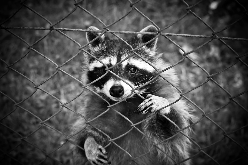 """Town Reports """"Zombie"""" Racoons"""