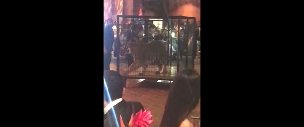 Fla. School Apologizes for Having Live Tiger at Prom [VIDEO]