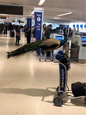 United Airlines Says No To A Peacock