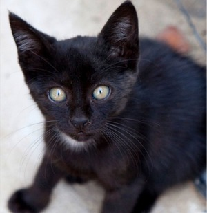 Why Are People Adopting More Black Cats?