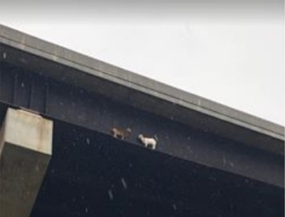Pennsylvania Goats Rescued After Just Doing What Goats Do