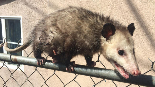 How Not to Get Rid of Possums