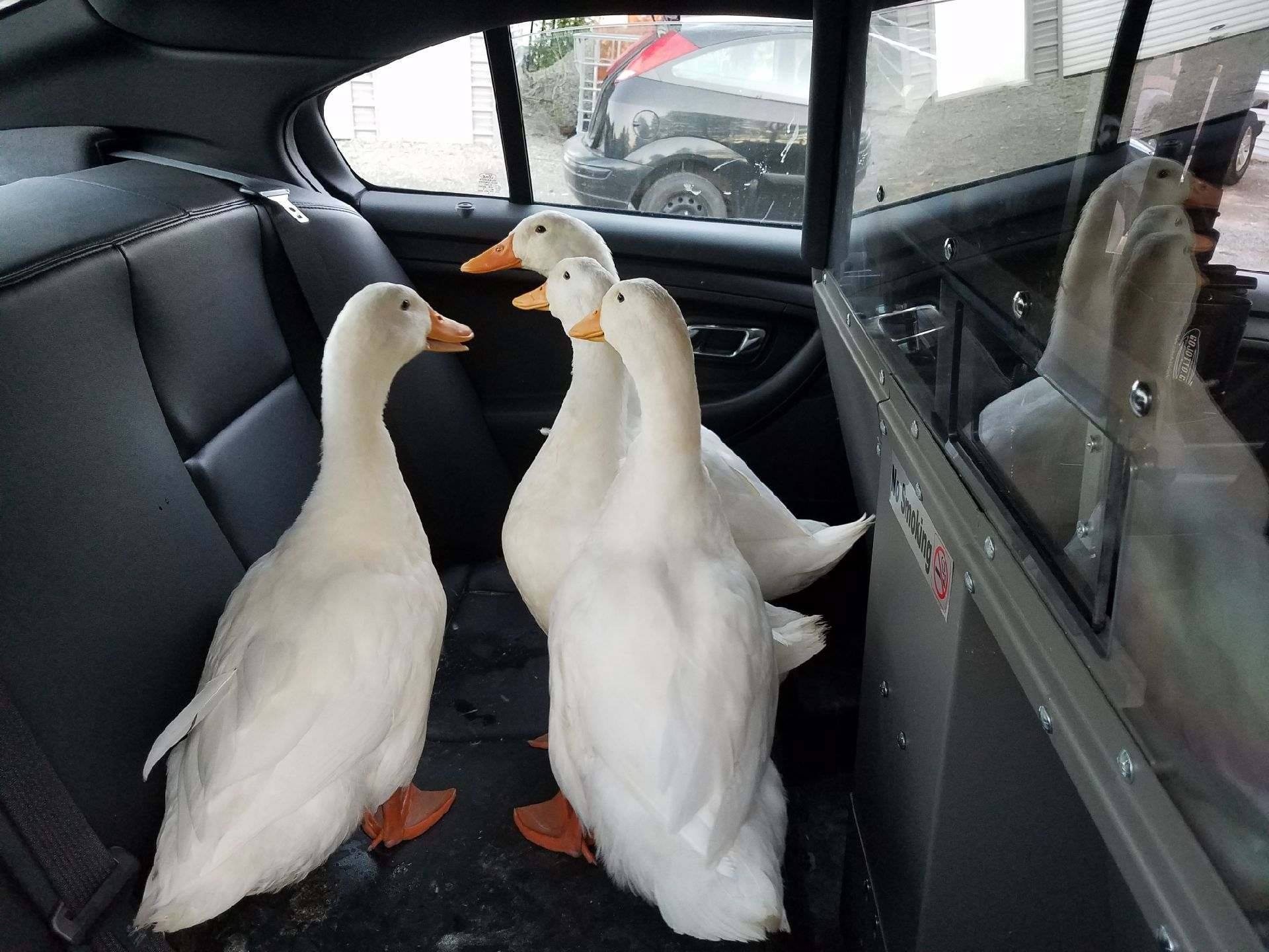 Ducks Arrested
