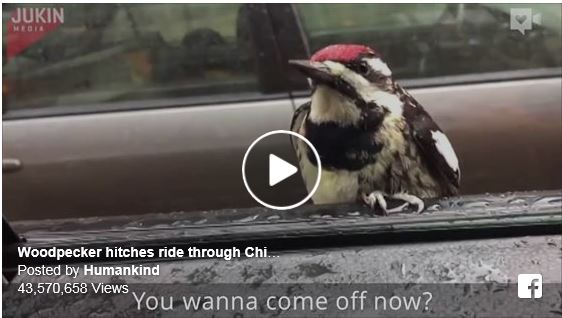 Woodpecker hitches ride thru the city