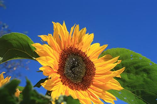 Surprise Sunflowers