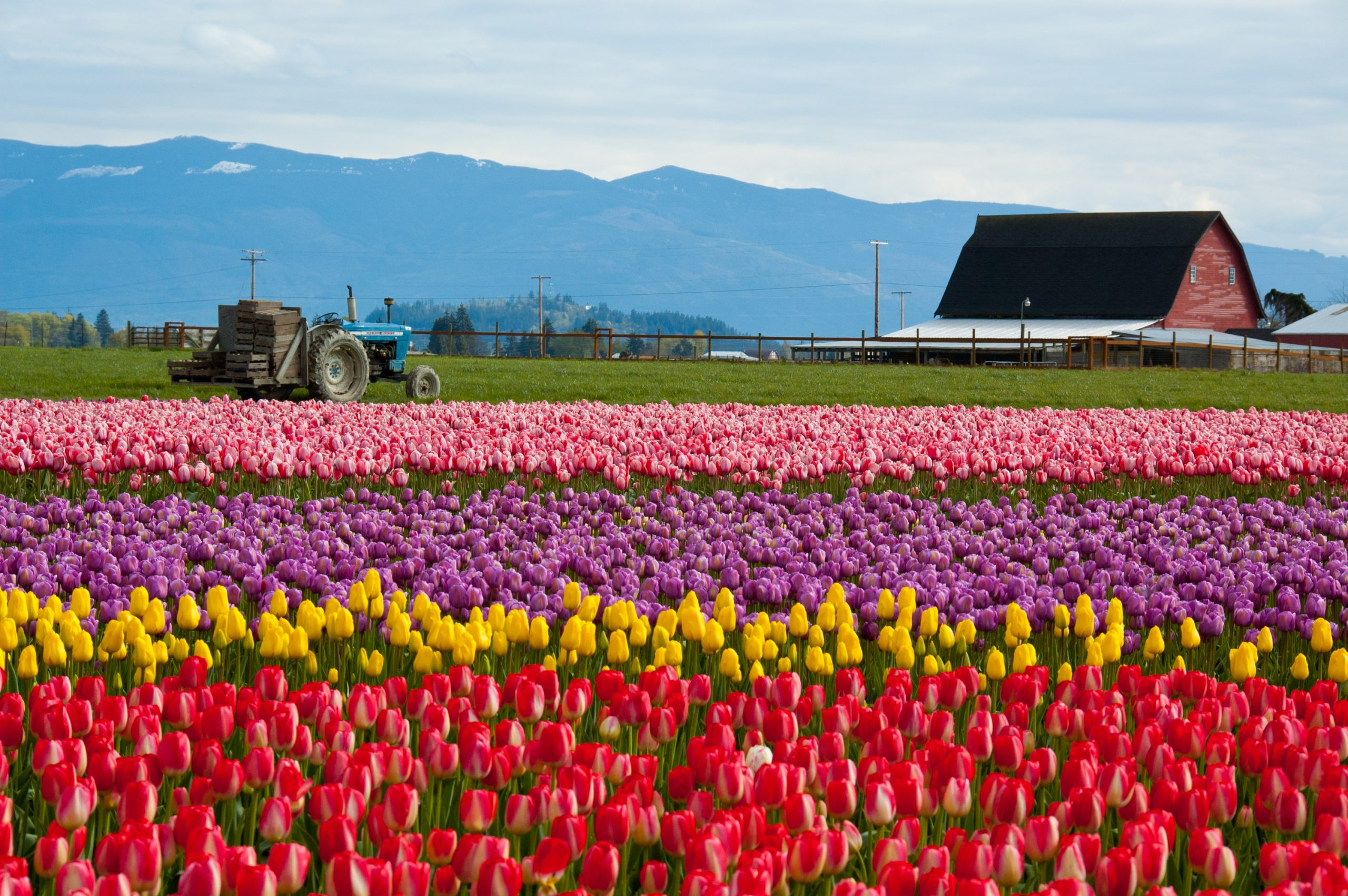 Tulips Are Set To Bloom in April