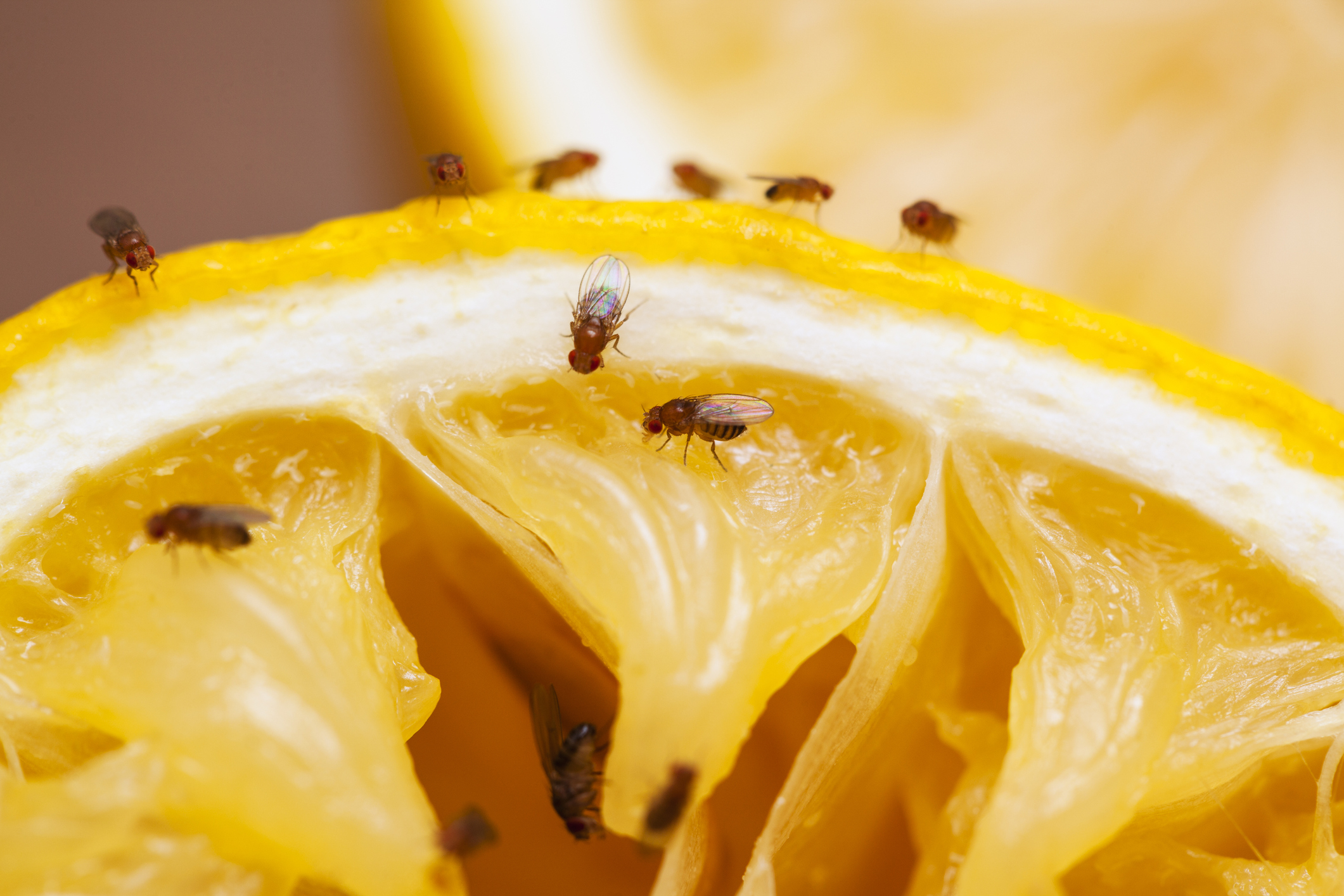 Your Three-Step Fruit Fly Battle Plan