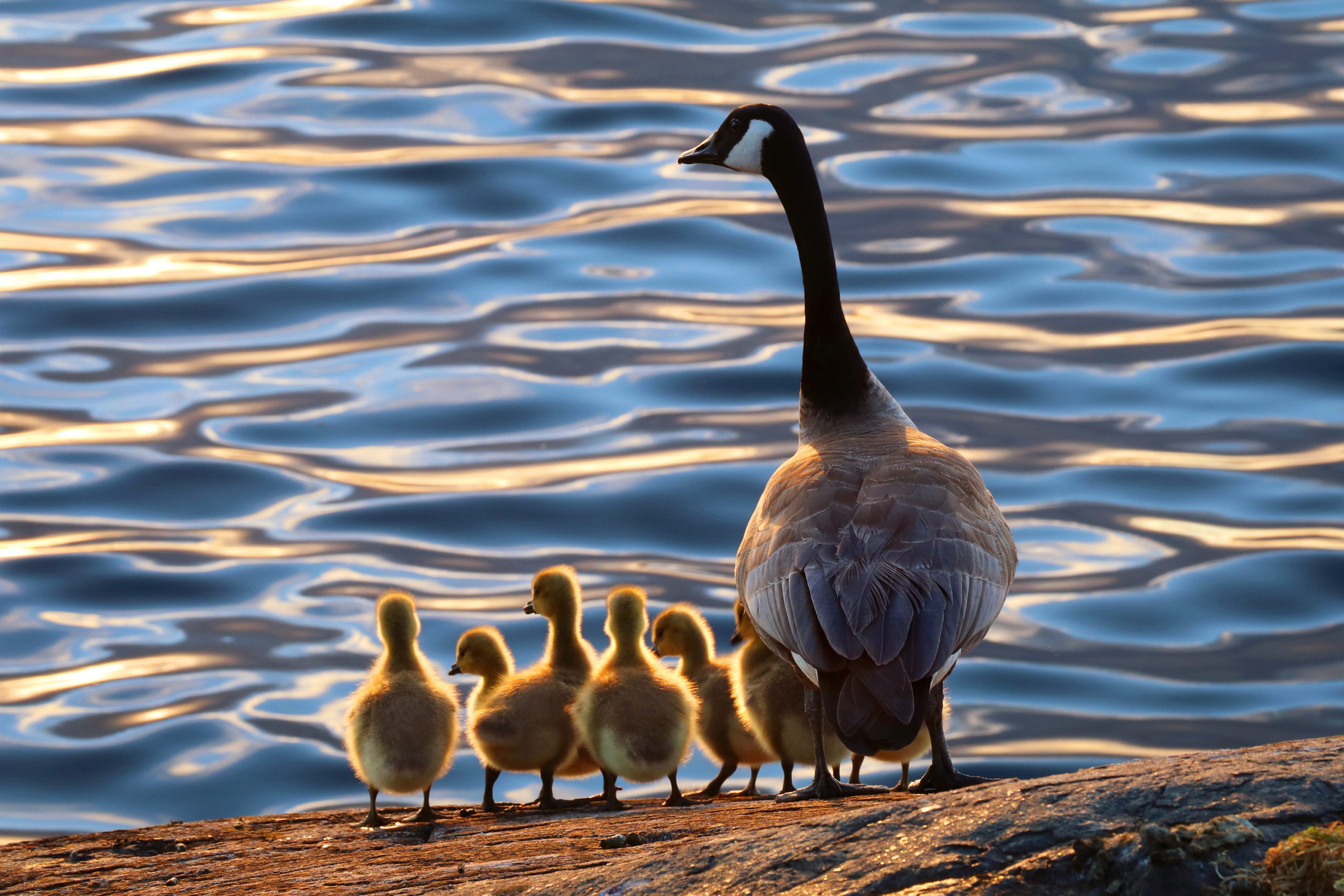 God of the Goslings