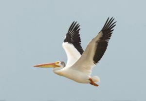 american_white-pelican-c22-36-024_v