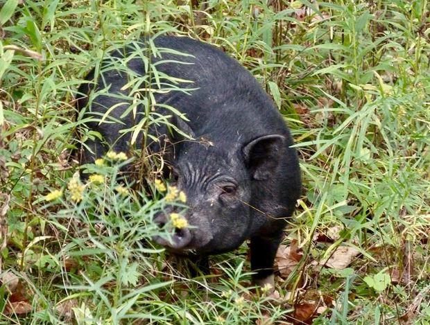 Pig Loose in Yates County