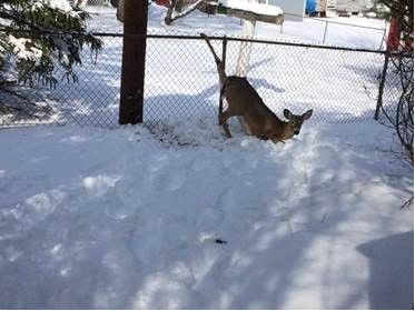 Officer Saves Deer Hung Up in Victor Fence