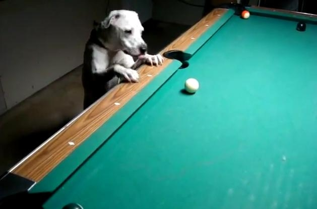 Pool playing dog!