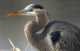 Great Blue Herons are not great neighbours.