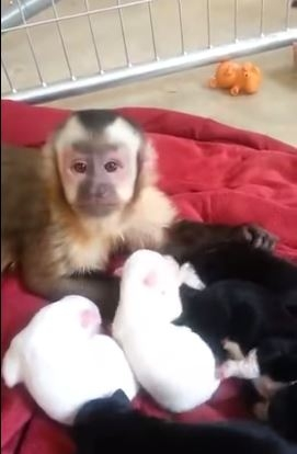 Monkey momma with puppies