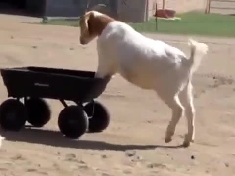 Goats in wheelbarrows... because it's Monday!!!