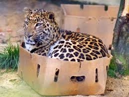 Big cats with catnip easter eggs and boxes.