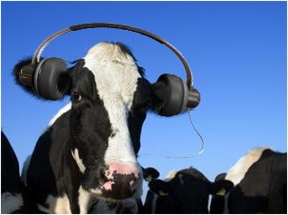 Cows and music....