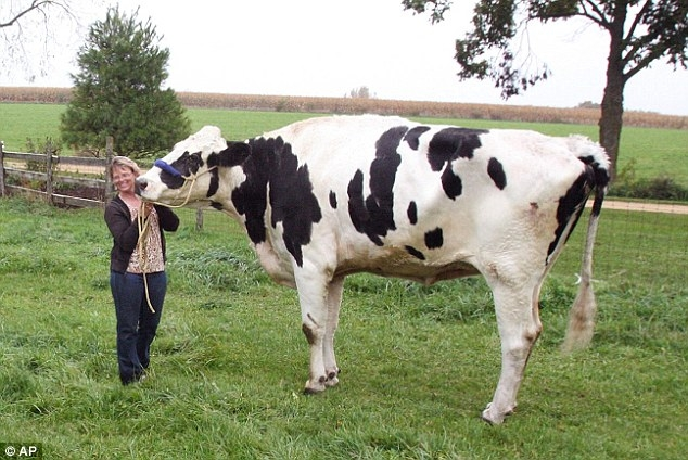 Wanna see the World's Tallest Cow....