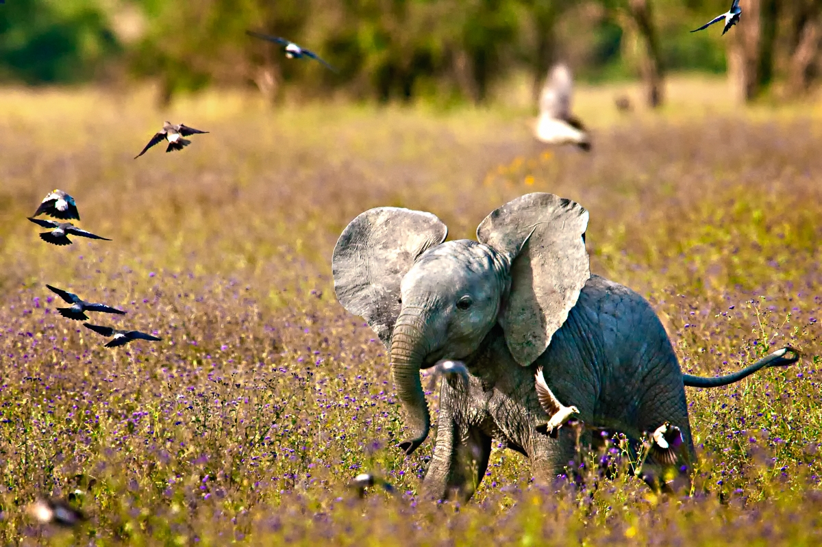 Baby Elephant Plays with Birds....