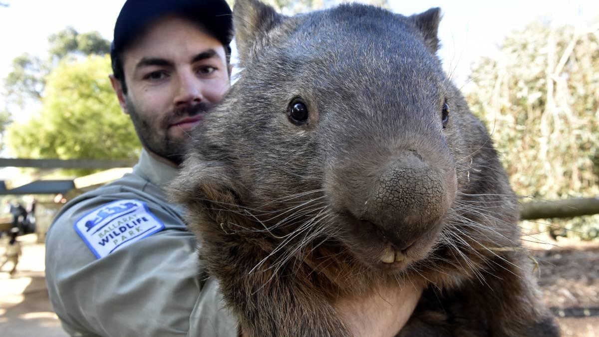 Cute + weird = Patrick the 80lb wombat