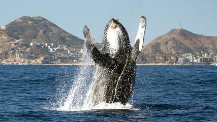 Perfect aim... Mr. Hump Back Whale