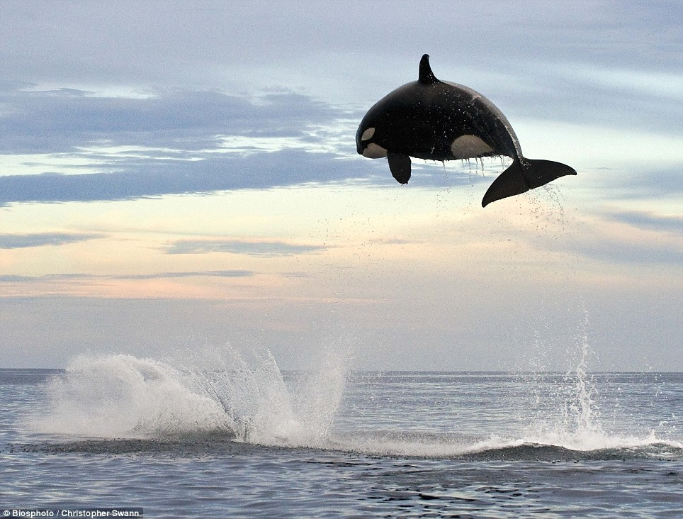 The awesome power of the orca in the wild *WATCH*