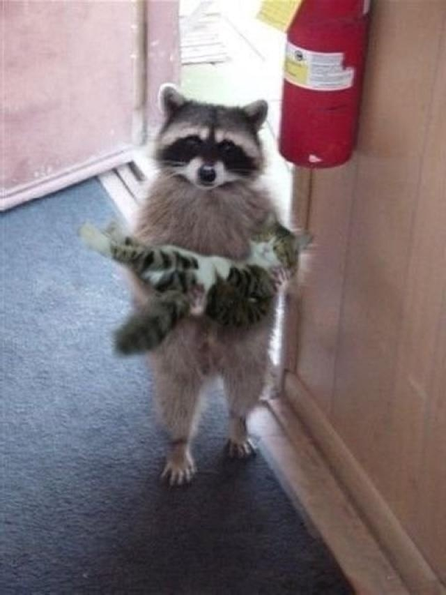 Cats and Raccoons....