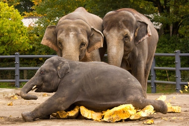 Elephants love pumpkin? Who knew.  *VIDEO*