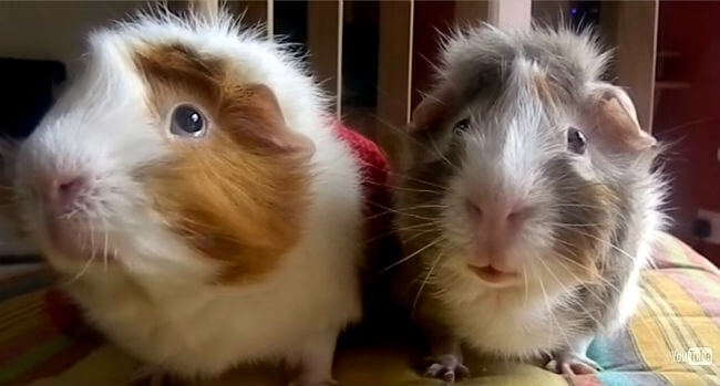 Ever wonder what your guinea pigs are talking about?
