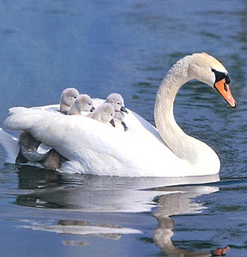 I Give You a Man named Simon and one Daddy Swan....