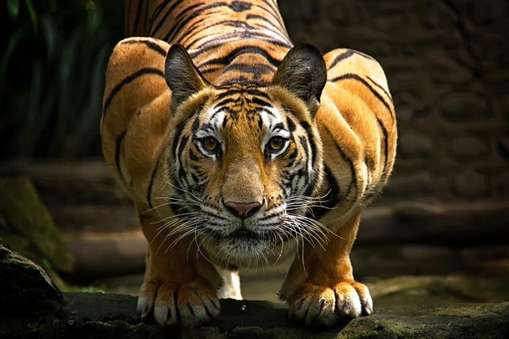 Majestic Tigers!