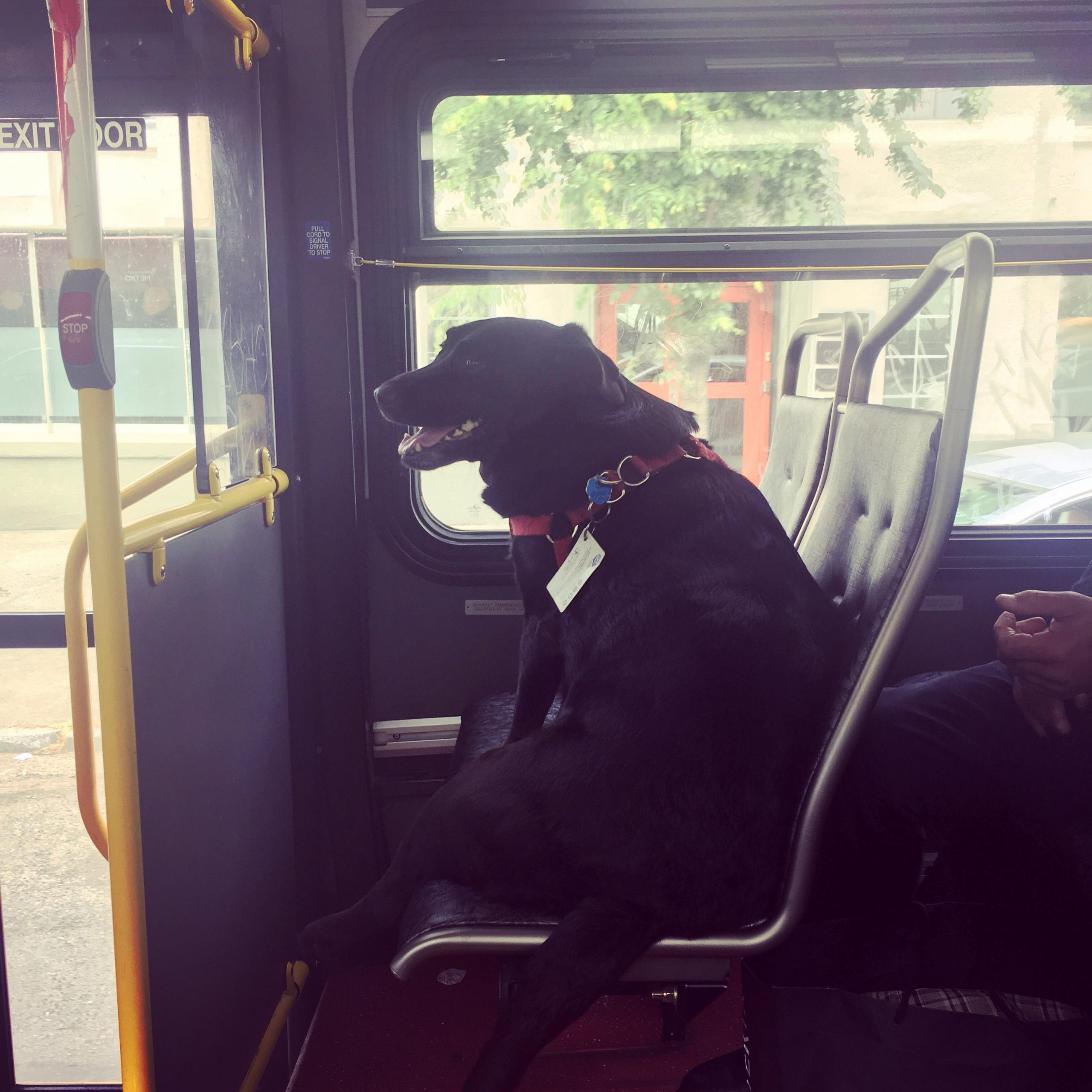 Labrador rides Seattle bus to dog park all by herself....