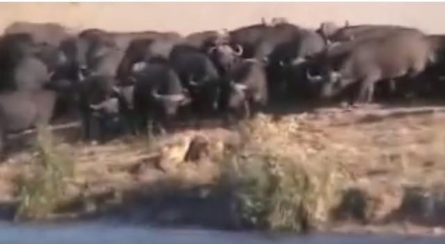 Battle at Kruger National Park....South Africa....
