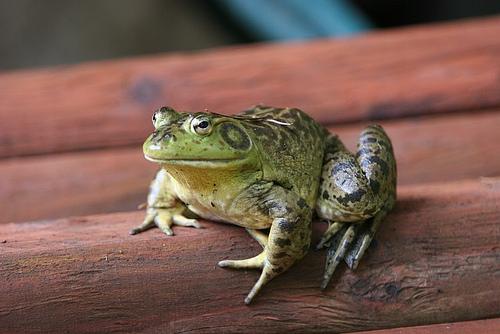Want a pet frog? Buy a bag of salad