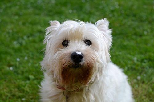 Found: A West Highland Terrier