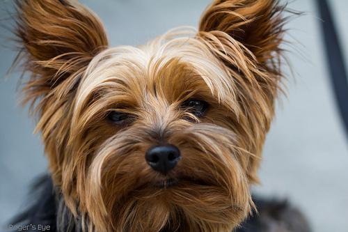 Found: A yorkshire terrier