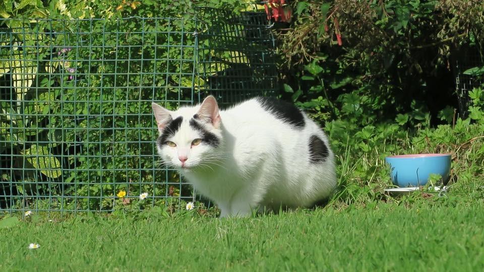 Found: A neutered white and black tomcat