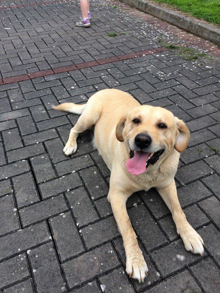 Found: Labrador