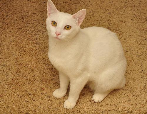 Lost: a cream cat