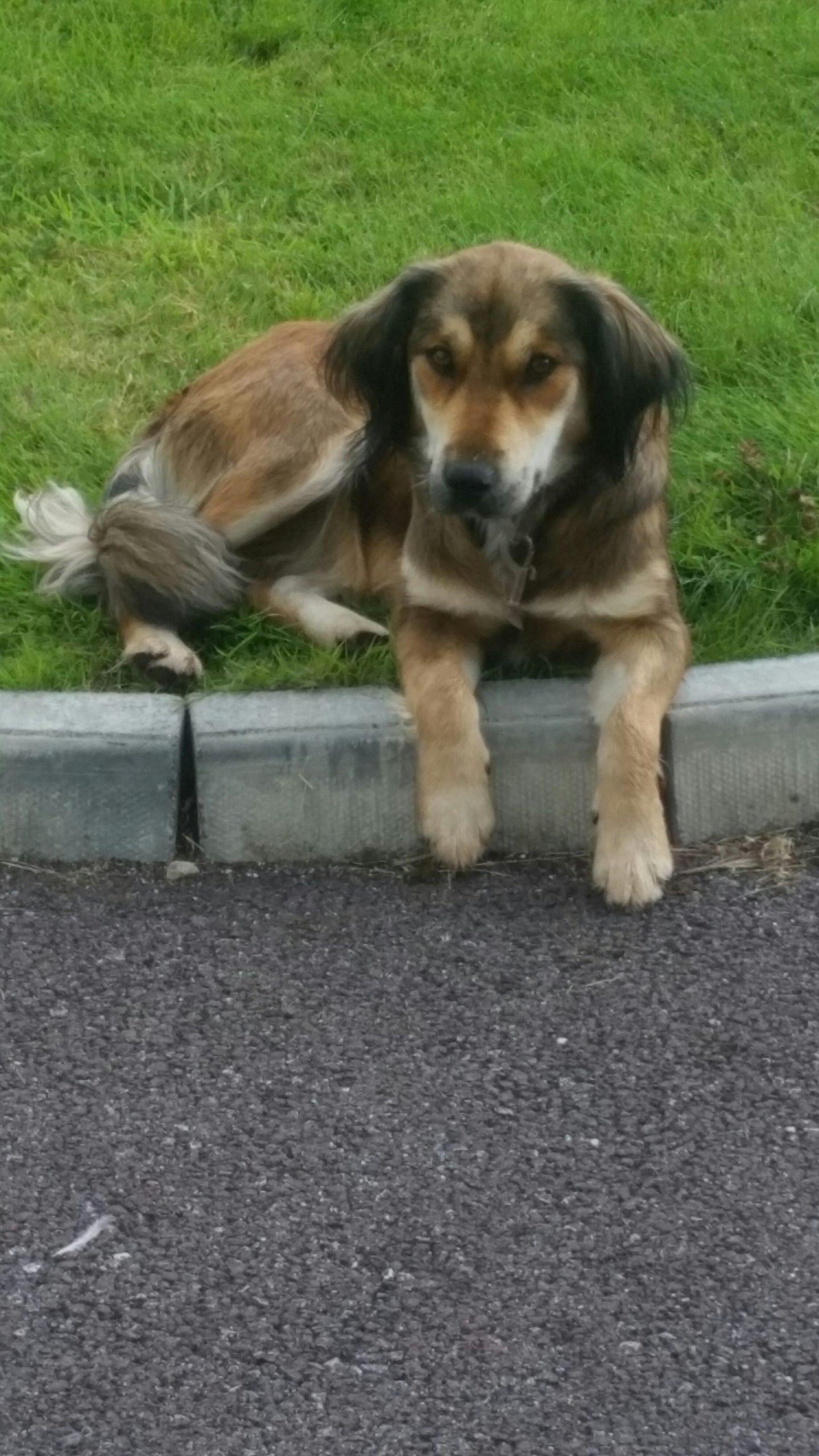Found: a female brown medium size dog