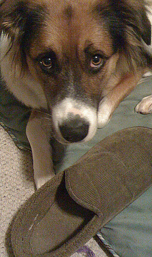 Found: brown and white collie dog