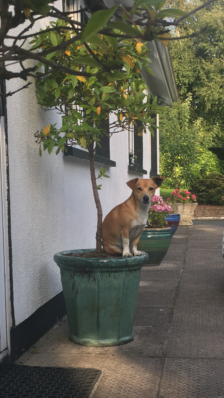 Lost: a tan jack Russell